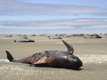 Delfini globicefali in agonia sulle spiagge neozelandesi