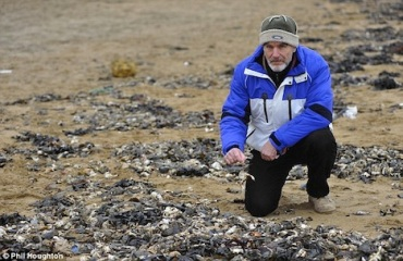 Granchi morti sulle coste del Kent (Inghilterra)