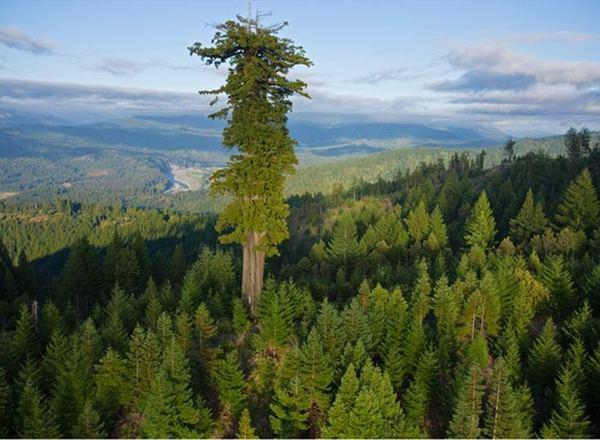Hyperion, il più alto albero (conosciuto) al mondo